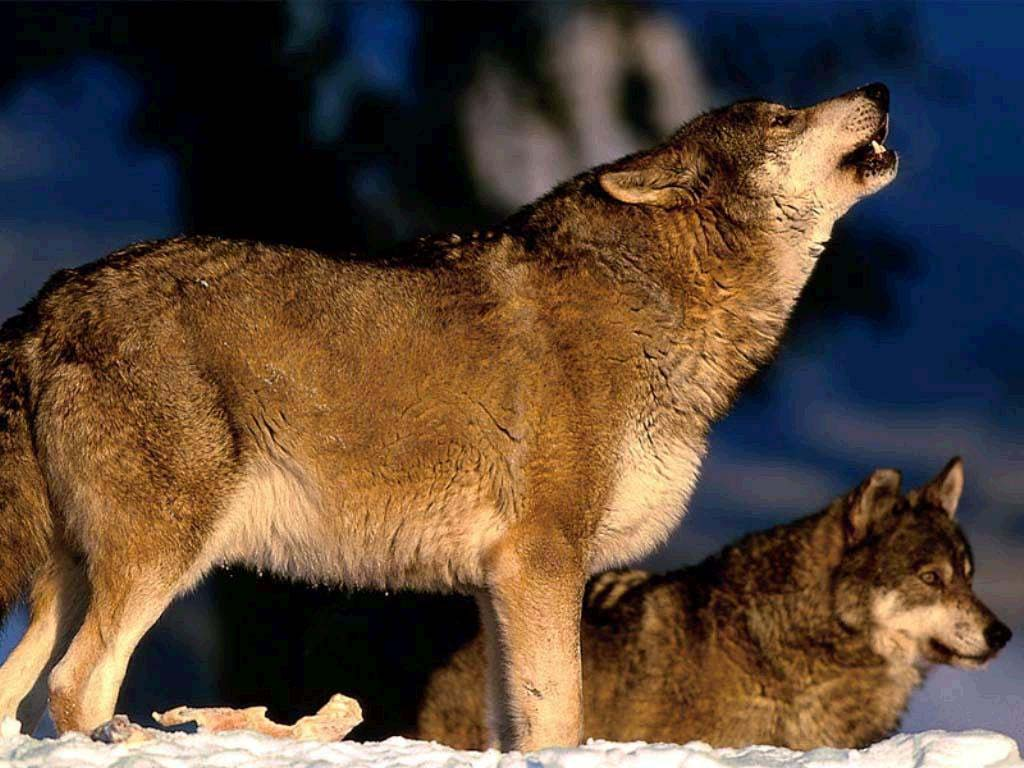 Grey wolf pack