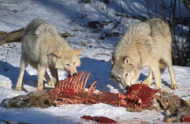 http://kostya-wolf.narod.ru/OBO/wm3.jpg
